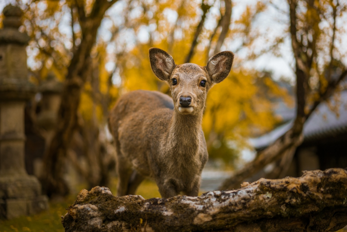 Photo of a cute baby deer in Nara, Japan taken in autumn colors.