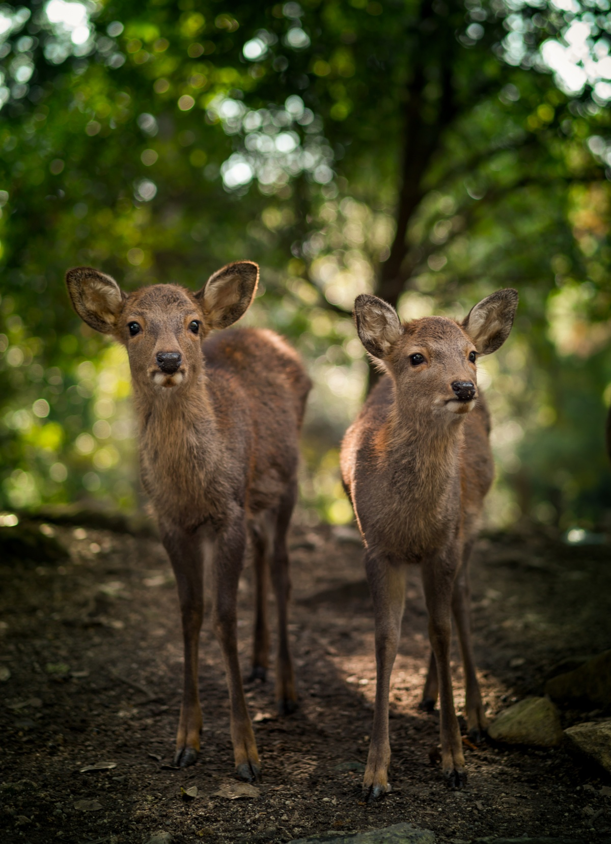 Photo of cute deer siblings in Nara, Japan
