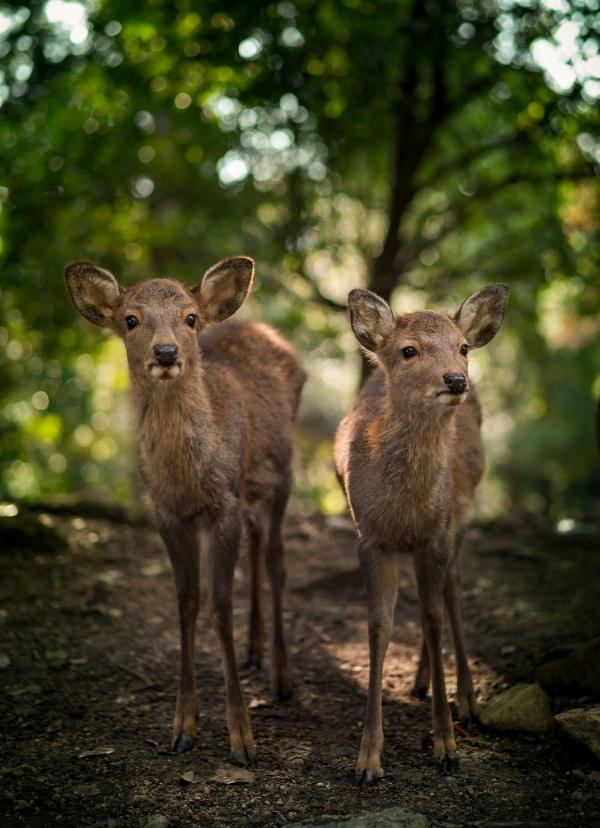 Deer siblings