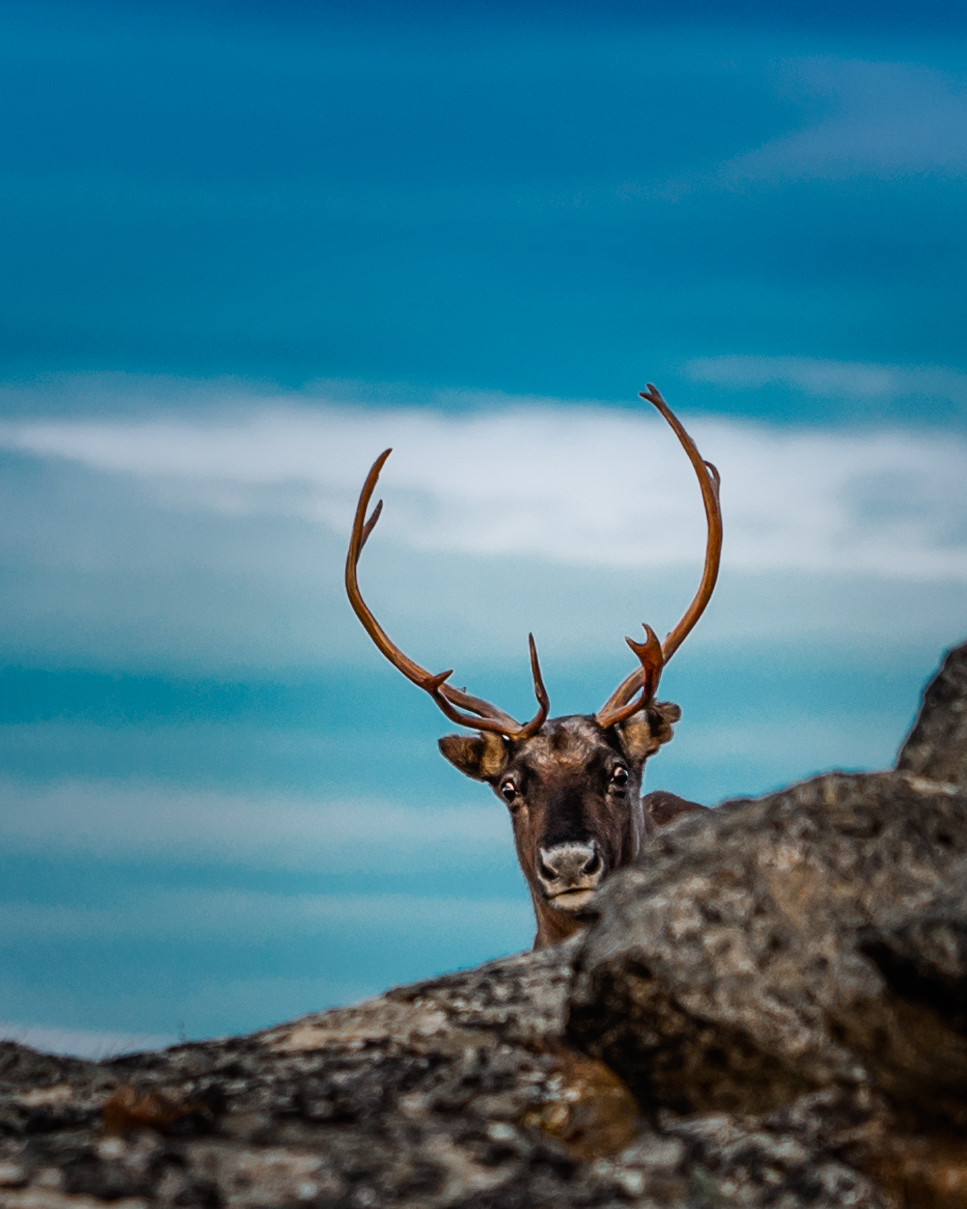 Photo of a reindeer hiding behind a rock